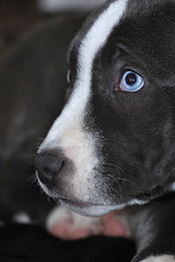 Baby boy (shotwilliam) Tags: blue dog cute puppy colorado funny dof blueeyes pitbull prettyeyes puppydog denverphotographer boulderphotographer blinkagain shotwilliam