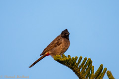 IMG_7344L4 (Sharad Medhavi) Tags: bird canoneod50d birdsandbeesoflakeshorehomes
