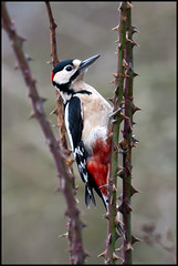 peck ... (John FotoHouse) Tags: canon leeds 2012 greatspottedwoodpecker dolan fairburnings johnfotohouse