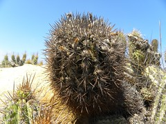 DSCN8416 (Robby's Sukkulentenseite) Tags: chile cactus cacti coquimbo reise kaktus kakteen eriosyce standort subgibbosa neoporteria nigrihorrida lacebada ka4151s