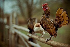Standing Guard... (imdna...) Tags: chicken rural golden bokeh farm chief poultry rooster sebright bantam bamboofence hbw