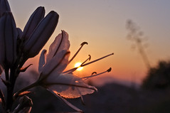 sunset flower