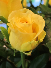 Peace and Love to All (Ann's Pix getting out of rut) Tags: she our red roses love home me rose yellow garden this am all peace you weekend praying mother peaceful full have giving mind brought were always they them today bring told grew preferred i so