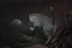 white tiger (Yangyu and Linmao) (Olaya Garcia) Tags: white blanco canon island eos tiger canarias lp tenerife canary teneriffa tigris tigre islas whitetiger loroparque panthera pantheratigris tigreblanco 1000d