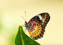 Malaysian Lacewing (Linda FreedomBird) Tags: flower butterfly garden lacewing naturephotography malaysianlacewing wingsspirit lindafreedombird