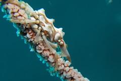 Xeno Crab (Xenocarcinus tuberculatus) (BJSmit) Tags: macro indonesia asia crab scuba diving sulawesi 2012 lembeh g11 xeno tauchen duiken inon xenocarcinustuberculatus xenocrab bitung xenocarcinus nadlembeh ucl330 canong11 wpdc34