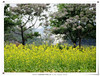 油菜花 & 紫楝 Edible Rape & China Tree (Ivy Taiwan) Tags: countryside rapeseed 油菜花 vegetableflower 蘆竹 桃園賞花