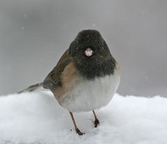 I HATE Snow (janruss) Tags: winter snow bird junco avian darkeyedjunco janruss janinerussell