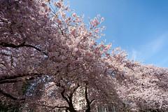 Unf! more cherry blossoms (ryanL.photo) Tags: seattle flowers uw nature canon spring wideangle cherryblossom sakura 5d universityofwashington hanami 1740l