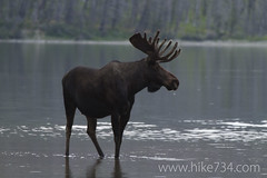 """Moose in Red Eagle Lake • <a style=""""font-size:0.8em;"""" href=""""http://www.flickr.com/photos/63501323@N07/6921347773/"""" target=""""_blank"""">View on Flickr</a>"""