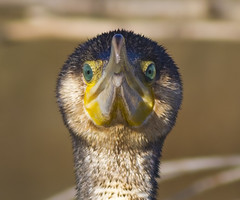 Cormorant (Phalacrocorax carbo) (Panayotis1) Tags: nature birds aves greece cormorant animalia phalacrocoraxcarbo pelecaniformes chordata phalacrocoracidae  canonef400mmf56lusm imathia aggelochori     66 tafros66 kenkopro300afdgx14x