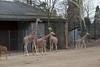 Wilhelma March 2010 231 (huskie1980) Tags: penis zoo child stuttgart kind giraffe speckled enclosure erect wilhelma snad gehege gefleckt erigiert erigierterpenis
