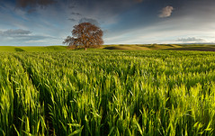 All Alone:  Dunnigan Hils, California (Ivan Sohrakoff) Tags: sunset panorama green field grass northerncalifornia clouds woodland landscape march spring oak wheat farming hills sacramento farmer agriculture yolocounty valleyoak dunnigan yolo landscapephotography dunniganhills northerncalifornialandscape agriculturelandscape ivansohrakoff ivansohrakoffphotographic isophotographic