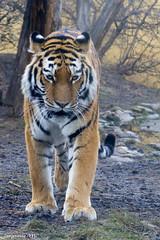 Sibirischer Tiger (Mladen Janjetovic) Tags: schnbrunn vienna wien animals zoo tiere tiger tiergarten 2012 mladen sibirischer 55250is flickrbigcats janjetovic eos550d