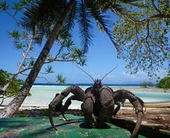 Coconut Crab, Ant Atoll, Micronesia (ebuechley) Tags: ocean island scenery fsm micronesia pohnpei antatoll