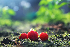 (nodie26) Tags: red food fruits vegetables fruit strawberry dish greens dishes veg    vegetarianism