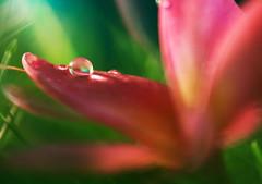 gems (twomeows (away...)) Tags: red flower macro green water canon garden lights soft dof close bokeh dream 100mm droplet gem morningdew 50d