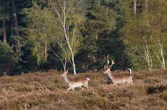 Fallow doe & buck (Skink74) Tags: uk england 20d stag heather hampshire doe canoneos20d deer heath buck newforest fallow mogshadehill canonef70300mm14556isusmdo