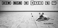 an expert opinion (Sivi) Tags: bw italy dog pet pets white black art love animal animals wall puppy kept photography for italia pavement exhibition prints doggy household companionship