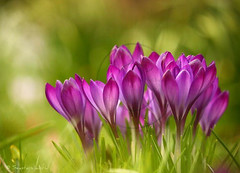 Crocus / Krokus (Seastars world) Tags: sun flower green nature grass germany deutschland spring purple blossom ngc natur crocus lila npc gras grn blume botanicgarden blte sonne kiel krokus frhling iridaceae abigfave canon55250 canon1000d neuerbotanischergartenkiel mygearandme mygearandmepremium mygearandmebronze mygearandmesilver mygearandmegold mygearandmeplatinum mygearandmediamond newbotanicgardenkiel