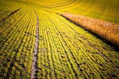 Fields of Gold - One (aynstayn) Tags: green field gold golden spring soe acre twop wow1 wow2 wow3 wow4 mygearandme ringexcellence dblringexcellence tplringexcellence eltringexcellence