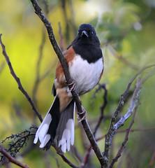 Eastern Towhee (lanaganpm) Tags: birds easterntowhee