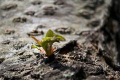 New Life Begins (lorenzoviolone) Tags: life new wood plant green nature reflex nikon raw ngc strawberries jpg dslr digitalslr begins strawberrie nikonraw nikondslr lifebegins digitalreflex nikonprofessional nikonreflex fileraw d3100 nikond3100 professionaldslr dslrraw