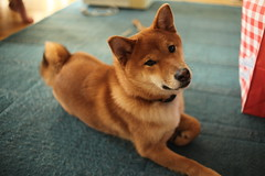 Critter (Bunaro) Tags: dog pet animal critter 24 shiba companion mir inu koira fuku mir24