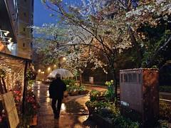 (Danburg Murmur) Tags: street flowers trees sky rain japan umbrella bench puddle restaurant petals tulips streetlamp blossoms pedestrian sidewalk  flowerpot cherryblossoms nippon   fairylights nihon cherrytrees aureole tky  nihonkoku nipponkoku