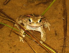 Image00003 (Dave Pearson FPG) Tags: toad natterjack