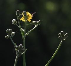 Wild flowers (Sappho et amicae) Tags: light flower detail nature forest dark flora wildflower eljkagavrilovi