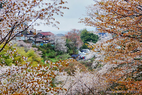 Yoshinoyama houses through cherry blossoms