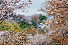 Yoshinoyama houses through cherry blossoms (Tatters ) Tags: trees houses japan village cherryblossom yoshino yoshinoyama oloneo