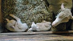 Newborn (Maia C) Tags: sheep merino lamb ewe greenfieldvillage maiac firestonefarm sonydschx1