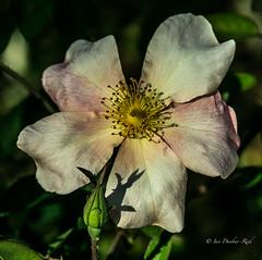 Rosa mutabilis (image 1) (idunbarreid) Tags: white rose dark background doublefantasy