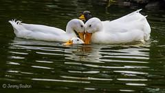 Triangle? (JKmedia) Tags: 3 bird birds duck 4 feathers plymouth devon aquatic nationaltrust avian saltram canoneos7dmarkii boultonphotography