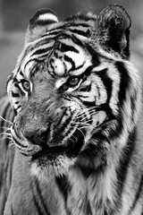 Mauvaise humeur (Dimitri, Franck) Tags: france zoo noir mood tiger bad grimace blanc tigre zoos mauvaise felin thoiry humeur felins