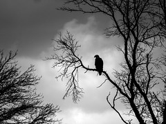Against the Sky (amythyst_lake) Tags: silhouette wisconsin eagle bald meadows crex