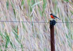 Flame Robin (M) (OM-Digital) Tags: robin birding melbourne explore flame greatcolors flamerobin