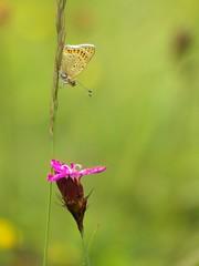 Brauner Feuerfalter [ Sooty copper ] [ Sotguldvinge ] ( Lycaena tityrus ) (ritschif) Tags: butterfly natur blume blte tier insekten schmetterlinge sootycopper lycaenatityrus tagfalter blulinge braunerfeuerfalter dagfjrilar sotguldvinge