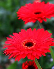 Happiness is the natural flower of duty. _5428 (HR Lemon) Tags: red food flower nature fire redflower flowerbud flowerpetal natuaral flowerphotography