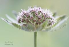 Astrantia (Jane Dibnah Botanical Art) Tags: macro spring flora softfocus astrantia floralart beautyinnature