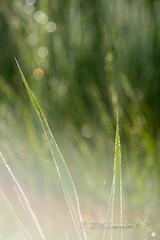 Gotas bokeh y flare (Joaquim F. P.) Tags: old morning macro vintage contraluz lens photography flora agua nikon bokeh apo ring gotas german flare symmetric symmetrical backlit extension largeformat tarragona 1918 anillo f9 deutsche lapineda optics wideopen objetivo vilaseca paulrudolph simetrico objective rodenstock d610 150mm optik reproduccin m39 plasmat copylens processlens leicamount reprolens apogerogon rodenstockapogerogon150mmf9 leicalensmount