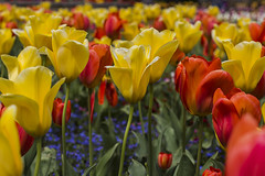 Tulips (sianybishop) Tags: singleton park singletonpark swansea wales south southwales uk may spring warm sun 2016 canon canoneos550d eos eos550d afternoon tulip tulips flowers color colours red yellow stem petal depthoffield depth focus crisp clean blur open