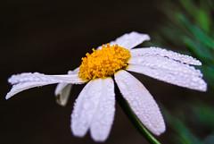 Margeriten - Leucanthemum (Kat-i) Tags: flower macro bayern deutschland dewdrops blossom kati blume makro blte tautropfen katharina 2016 leucanthemum margeriten nikon1v1