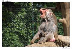 Help (tom22_allgaeu) Tags: nature animals germany bayern deutschland bavaria zoo monkey nikon europa natur tamron tier augsburg affe papiohamadryas pavian d3200 mantelpavian
