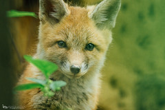 red fox kit (The Gaggle Photography | Jessica Nelson) Tags: baby babies wildlife fox kits kit redfox babyfox