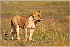 The Queen at Sunrise! (MAC's Wild Pixels) Tags: kenya ngc npc wildanimal lioness wildcats goldenlight lionpride wildafrica queenofthejungle maasaimaragamereserve queenofthesavannah macswildpixels thequeenatsunrise