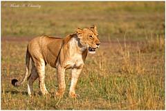 The Queen at Sunrise! (MAC's Wild Pixels) Tags: kenya ngc npc wildanimal lioness wildcats goldenlight lionpride wildafrica queenofthejungle maasaimaragamereserve queenofthesavannah macswildpixels thequeenatsunrise