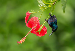 Purple Sunbird /   (ahmedezaz76) Tags: wild bird beauty photography purple natural action outdoor bangladesh sunbird asiaticus cinnyris